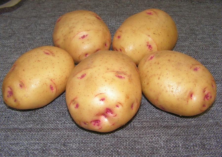 Старейший сорт картофеля