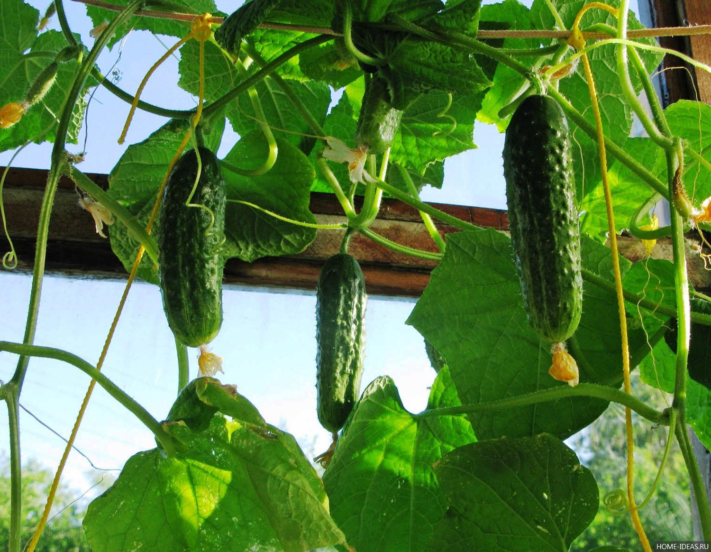 Выращивание огурцов в теплице - посадка и подкормка, советы.