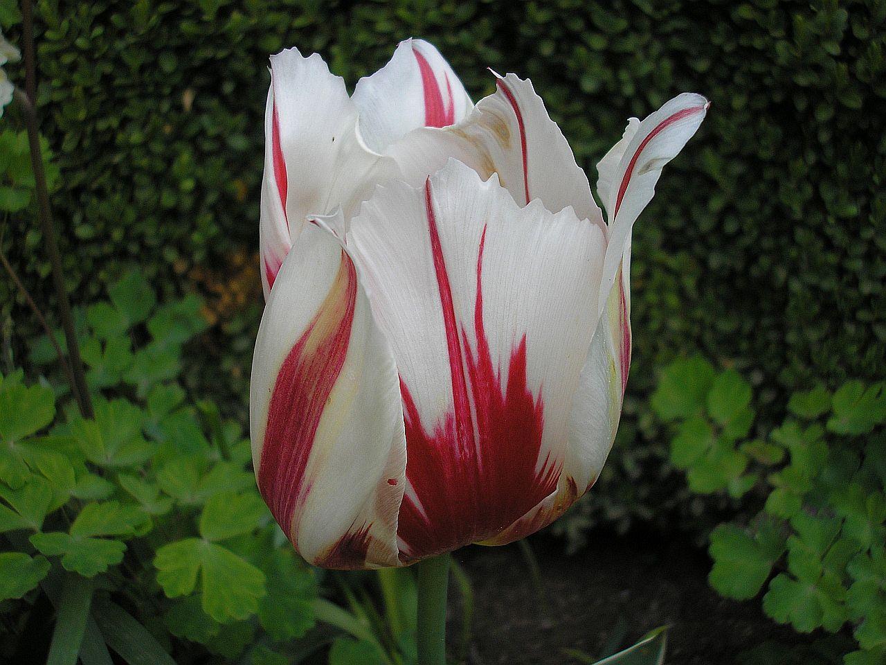 тюльпан хеппи генерейшен фото